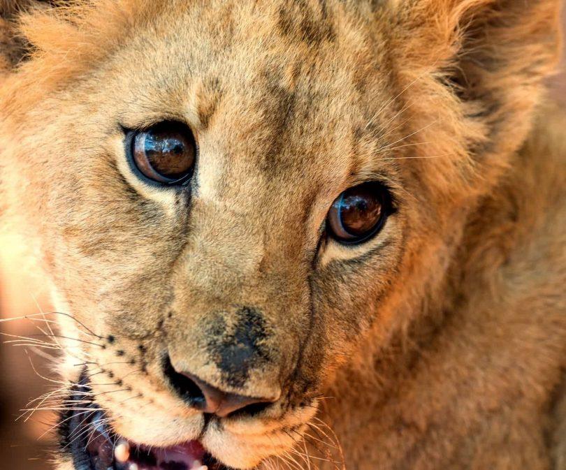 Sydafrikas præsident Ramaposa andragende om at standse stor katteopdræt