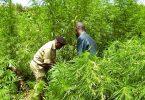 Kæmpe marihuana gård busted i Uganda Tourist Park