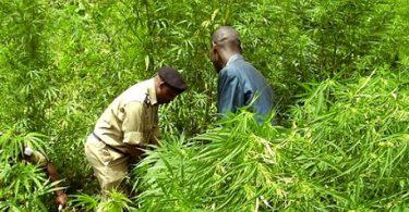 Obrovská farma marihuany uvězněná v turistickém parku Uganda