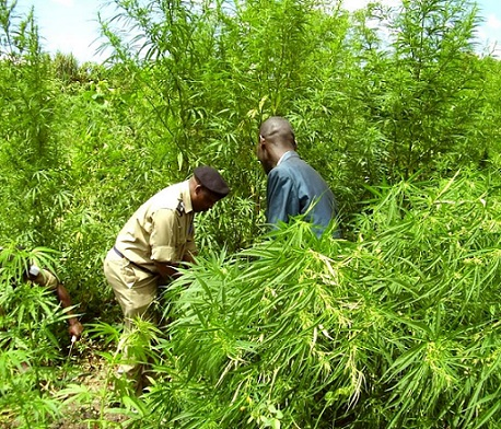 Huge Marijuana Farm Busted in Uganda Tourist Park