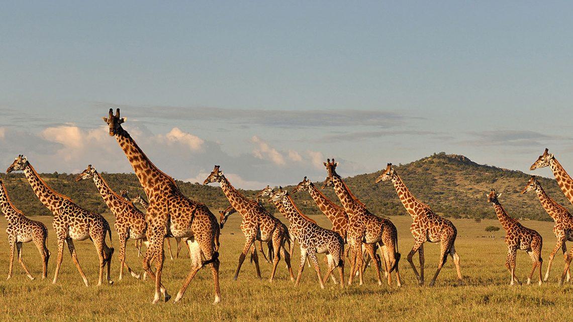 Rencana aksi diluncurkan untuk melestarikan jerapah di Tanzania