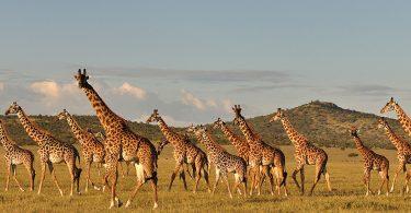 Drafitra hetsika natomboka mba hitehirizana ny zirafy ao Tanzania