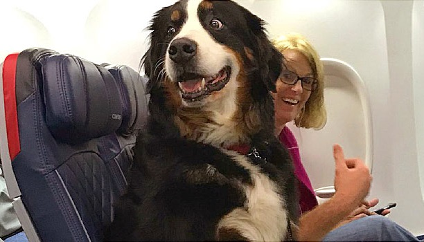 Emotional support animals no longer welcome on US planes as service animals