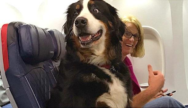 Az érzelmi támogató állatokat már nem szívesen látják a repülőgépeken szolgálati állatokként