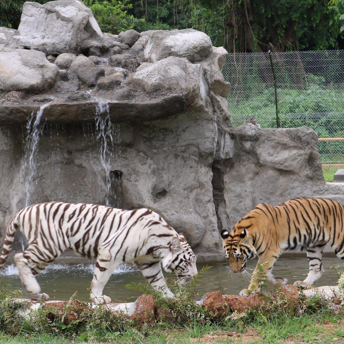 عودة النمور إلى أوغندا بعد توقف دام 40 عامًا