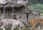 Tigre tilbage i Uganda efter 40 års pause