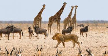 Koronaviry v Africe by mohly zvrátit 30 let zisků z ochrany divoké zvěře
