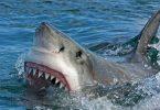 स्विमर दुर्लभ न्यूजीलैंड के महान सफेद शार्क के हमले में मारे गए