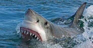 Пливач убиен во редок напад на голема ајкула во Нов Зеланд
