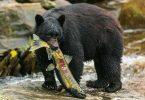 727199 ألاسكا مغامرة الدب الصيد 300x200 1