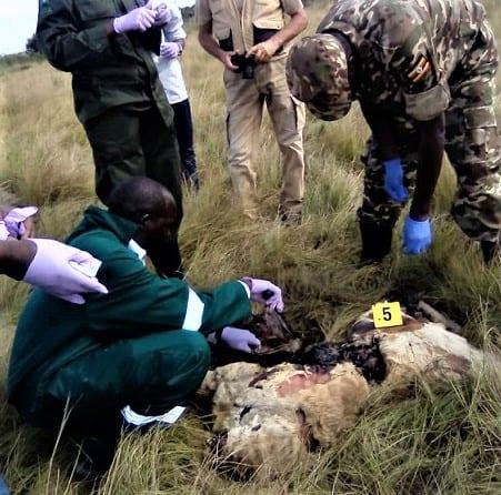 クイーンエリザベス国立公園で毒殺されたXNUMX頭のライオン