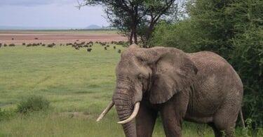 अफ्रिकी हात्तीहरूले बढी सुरक्षा पाउने: जीवन बचाउने र पर्यटन राजस्व