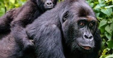 Gorilla Trekking Guide an Afrika Post COVID-19