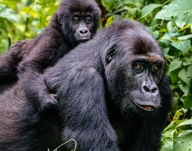 Gorilla trekking guide i Afrika efter COVID-19