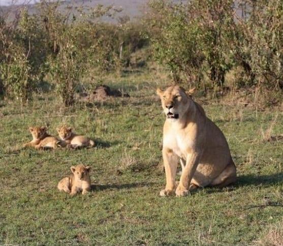 Kenya Safari Travel Guide: Quam ut leo a luxuria Malawi Safari ab India