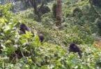Loma ev e ku çima divê hûn naha biçin trekking gorilla