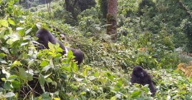Here is why you should go gorilla trekking now