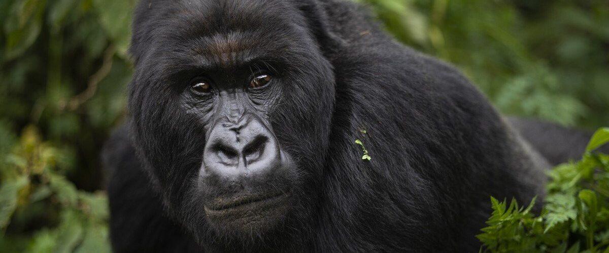 Afrikkalaiset apinat ovat vaarassa menettää luonnollisen elinympäristönsä