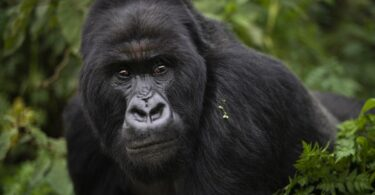 African great apes are in danger of losing their natural habitats
