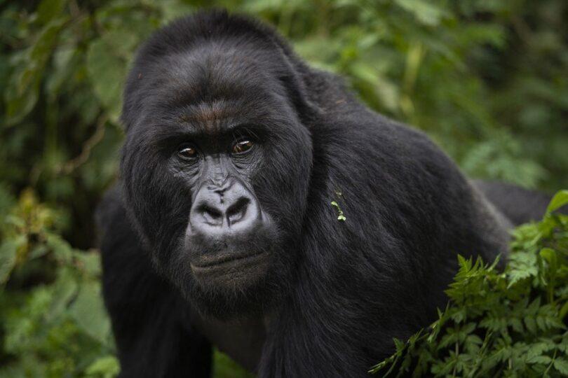 非洲類人猿面臨失去自然棲息地的危險