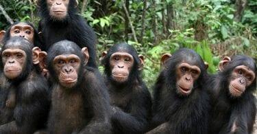 I awangawanga nga Kairangataiao mo te mate COVID-19 pea ka pa ki te chimpanzees