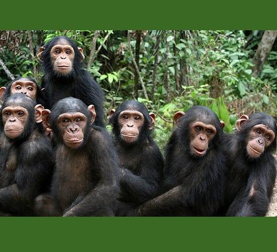 Para ilmuwan kuwatir bisa kena infeksi COVID-19 menyang simpanse